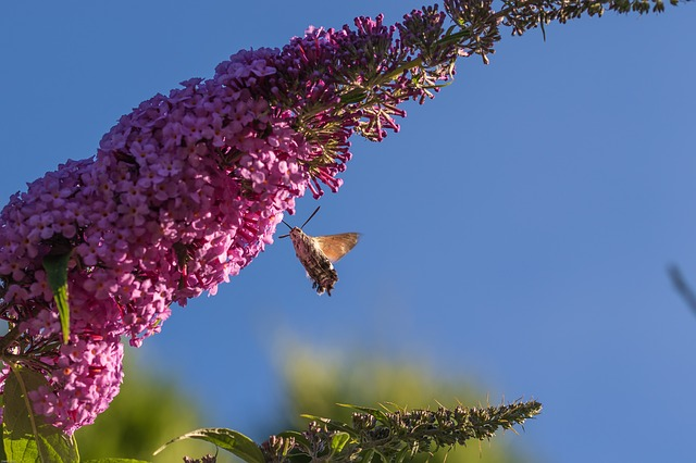 hummingbird-hawk-moth-1539397_640